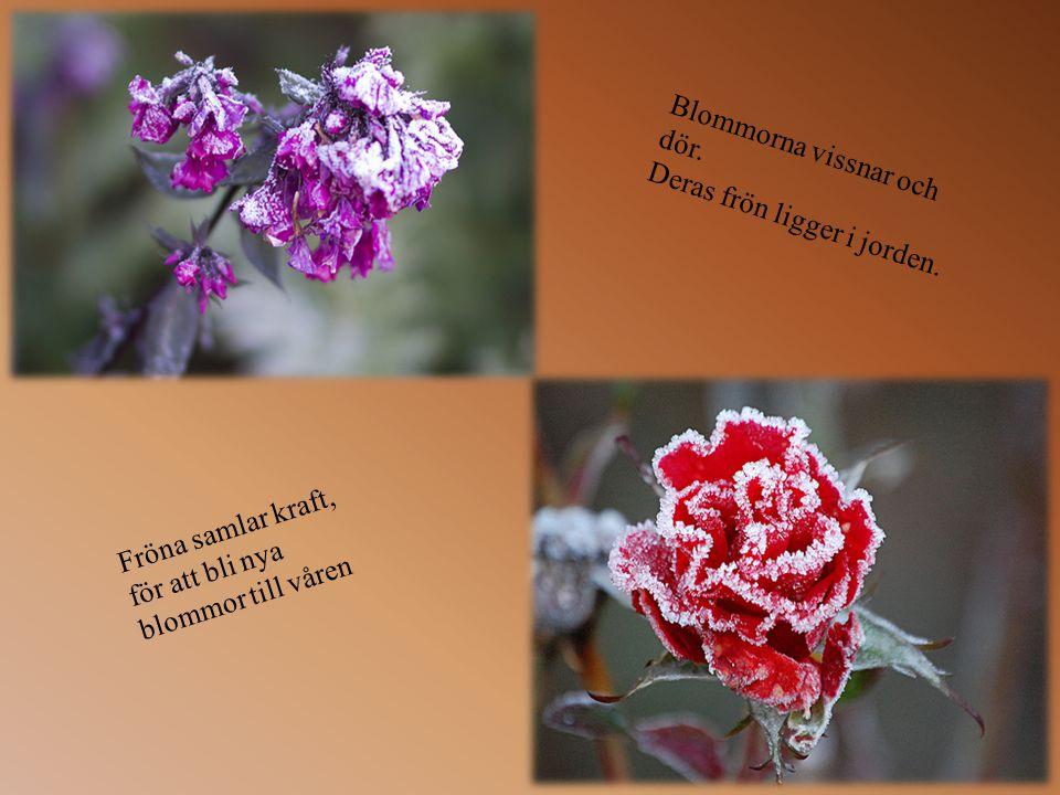 Blommorna vissnar och dör.