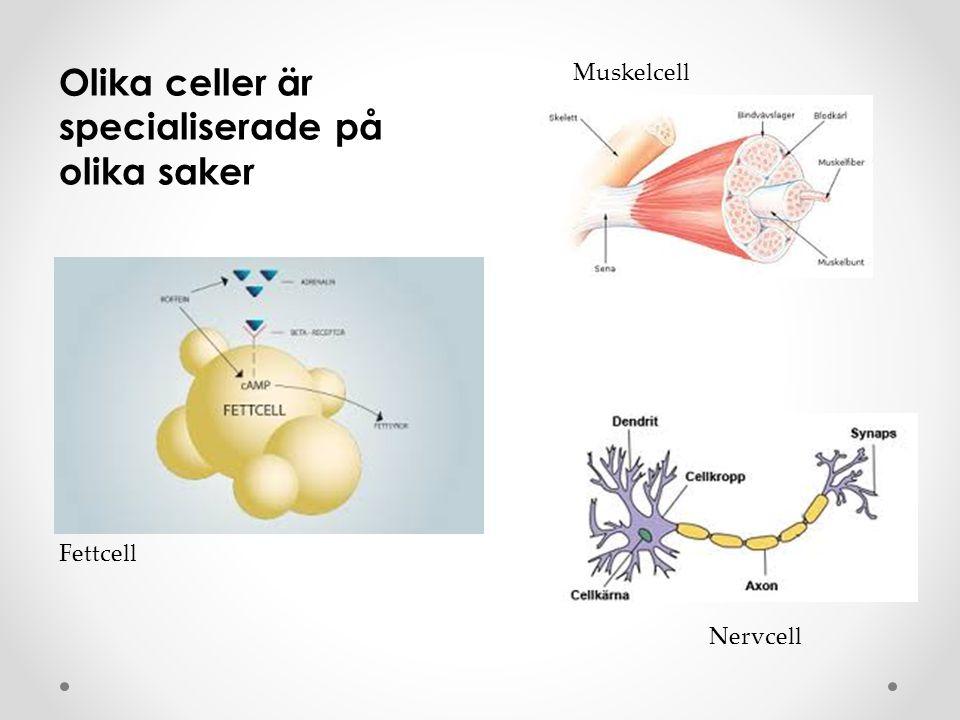 Olika celler är specialiserade på olika saker