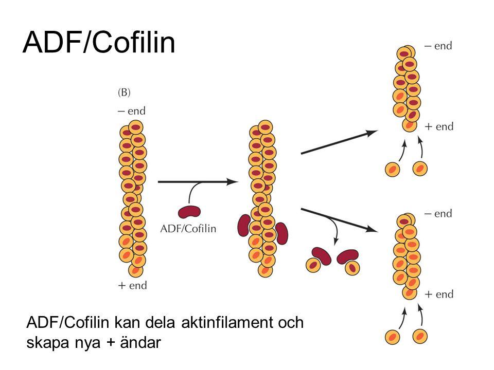 ADF/Cofilin ADF/Cofilin kan dela aktinfilament och skapa nya + ändar