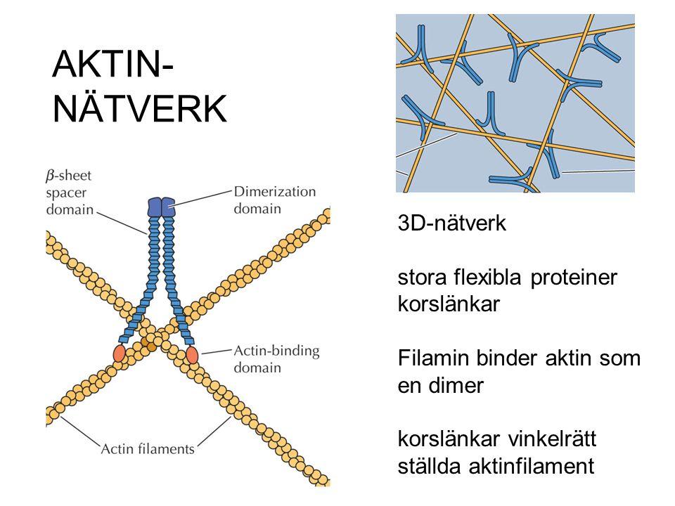 AKTIN-NÄTVERK 3D-nätverk stora flexibla proteiner korslänkar