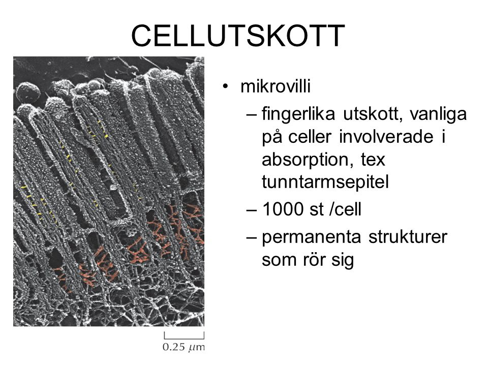 CELLUTSKOTT mikrovilli