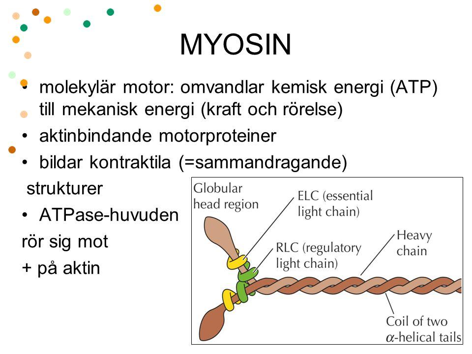MYOSIN molekylär motor: omvandlar kemisk energi (ATP) till mekanisk energi (kraft och rörelse) aktinbindande motorproteiner.
