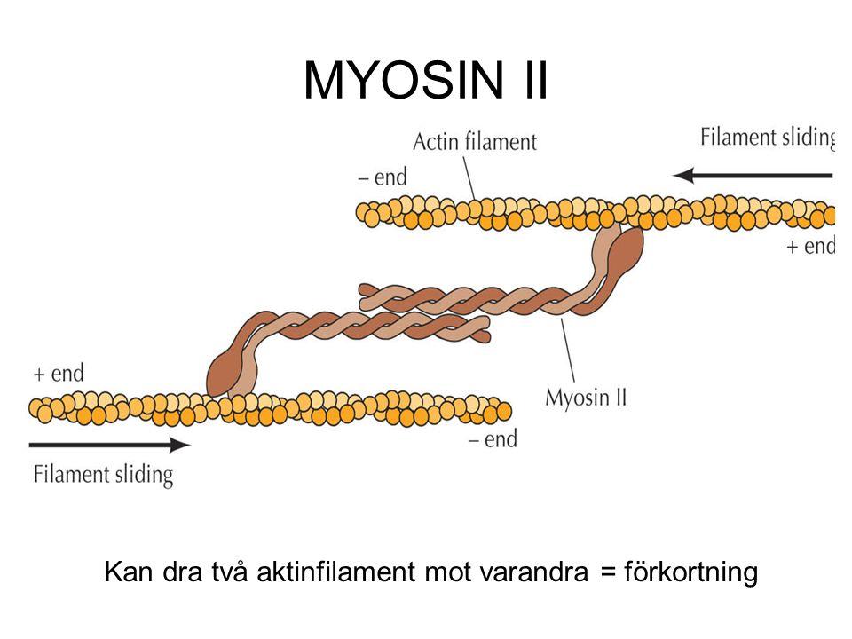 MYOSIN II Kan dra två aktinfilament mot varandra = förkortning