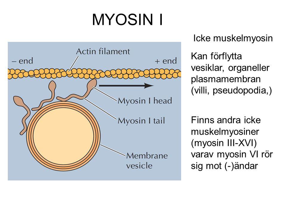 MYOSIN I Icke muskelmyosin