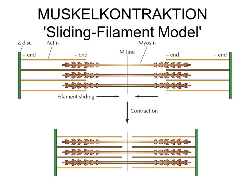 MUSKELKONTRAKTION Sliding-Filament Model