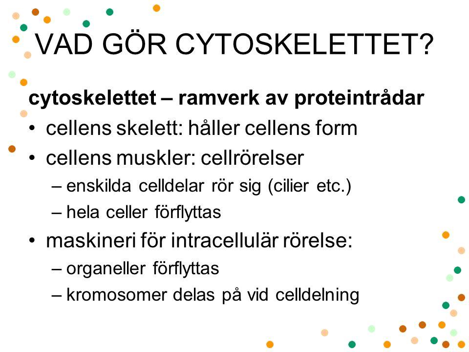 VAD GÖR CYTOSKELETTET cytoskelettet – ramverk av proteintrådar