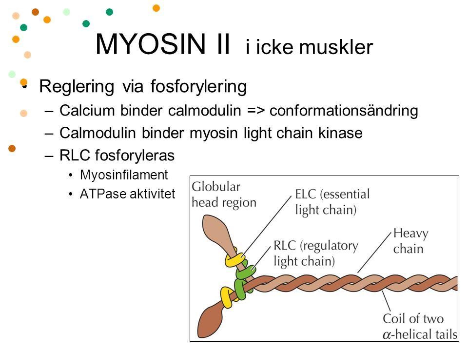 MYOSIN II i icke muskler