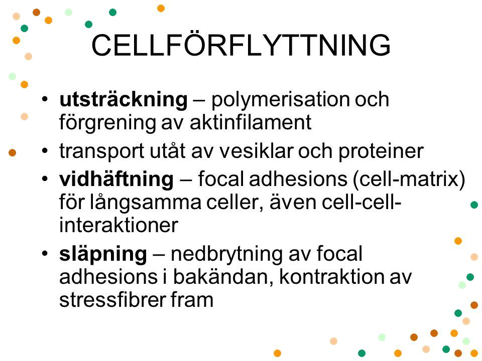 CELLFÖRFLYTTNING utsträckning – polymerisation och förgrening av aktinfilament. transport utåt av vesiklar och proteiner.