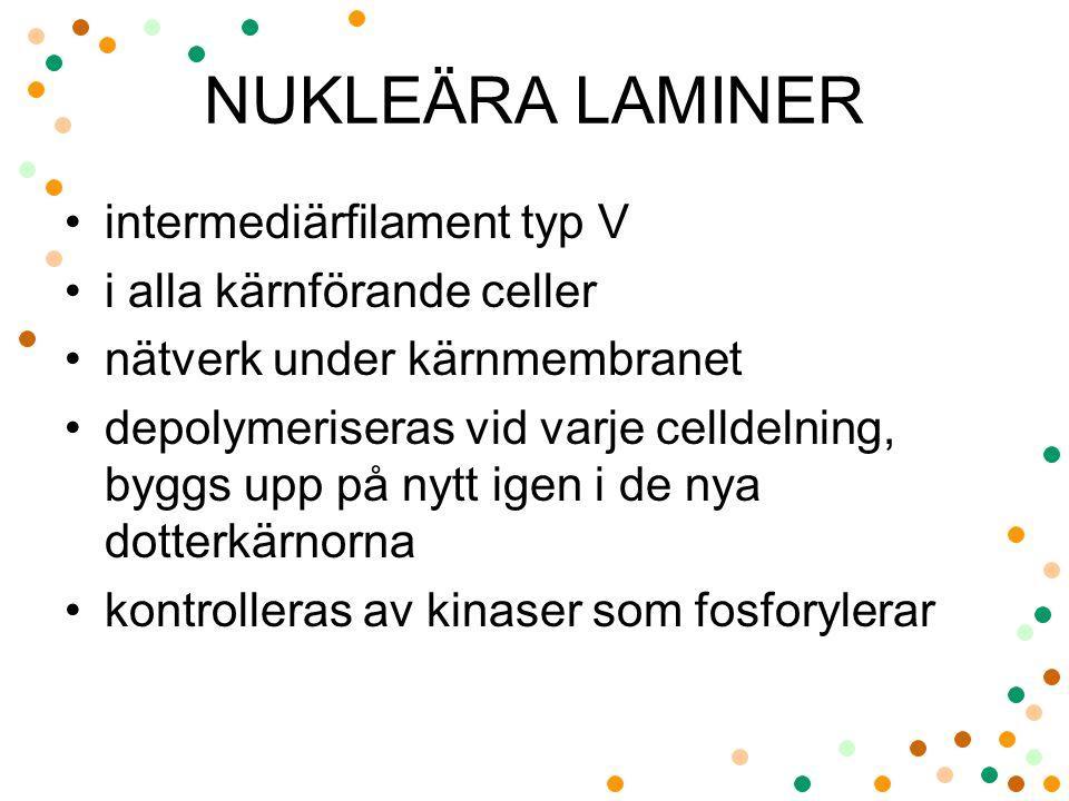 NUKLEÄRA LAMINER intermediärfilament typ V i alla kärnförande celler