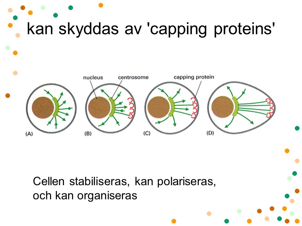 kan skyddas av capping proteins