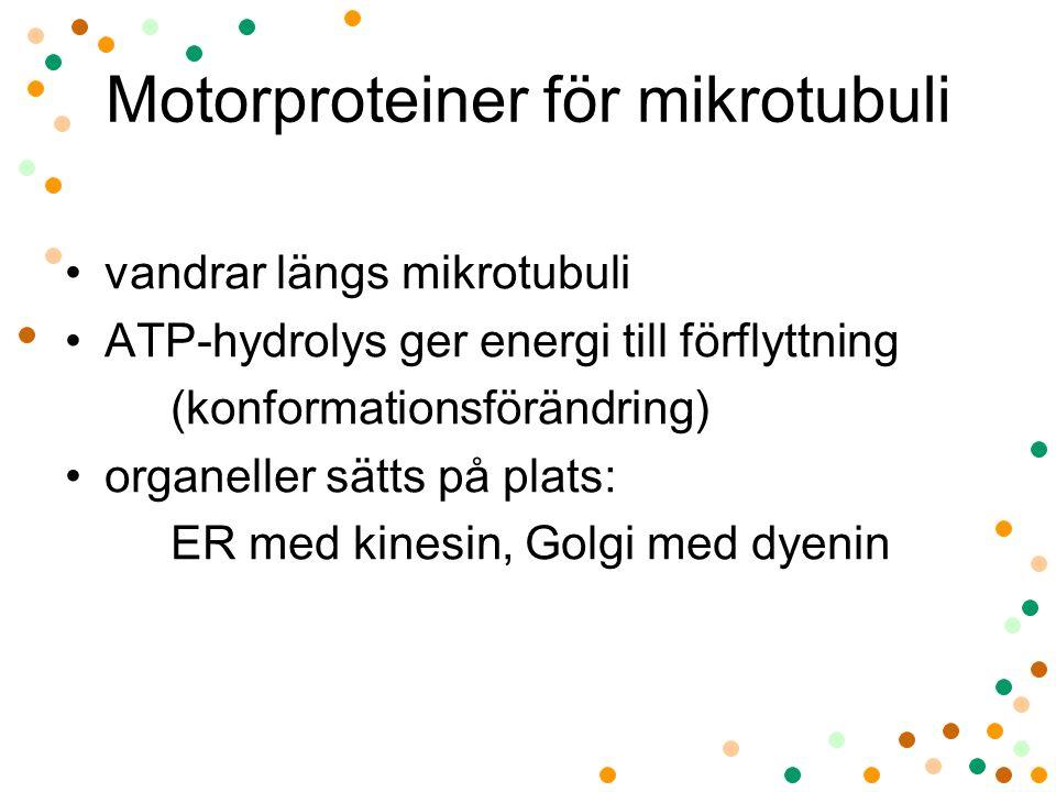 Motorproteiner för mikrotubuli