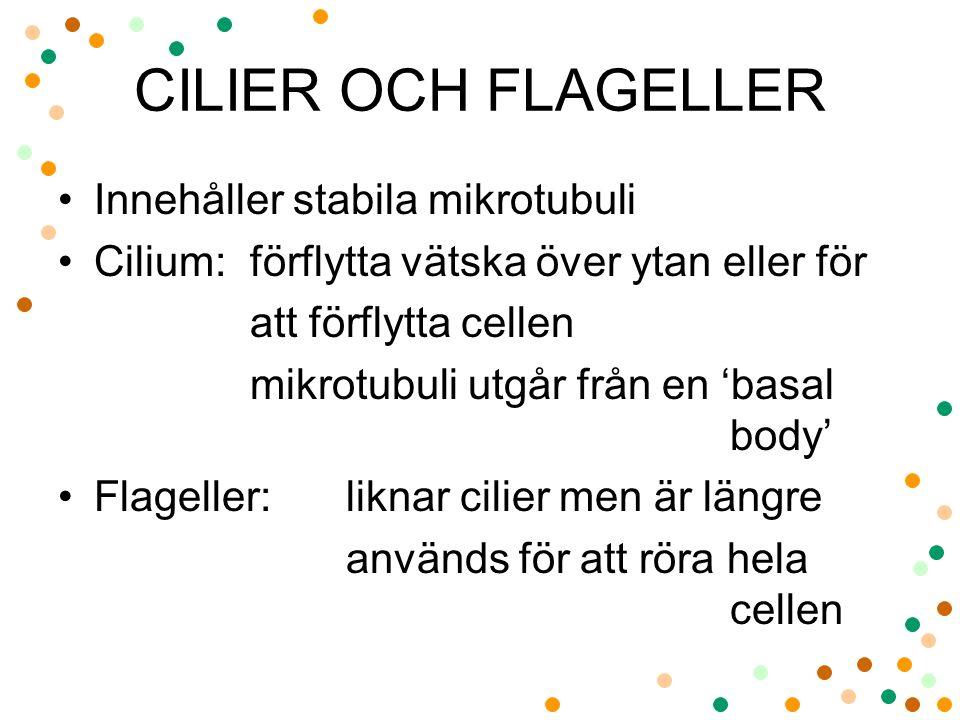 CILIER OCH FLAGELLER Innehåller stabila mikrotubuli