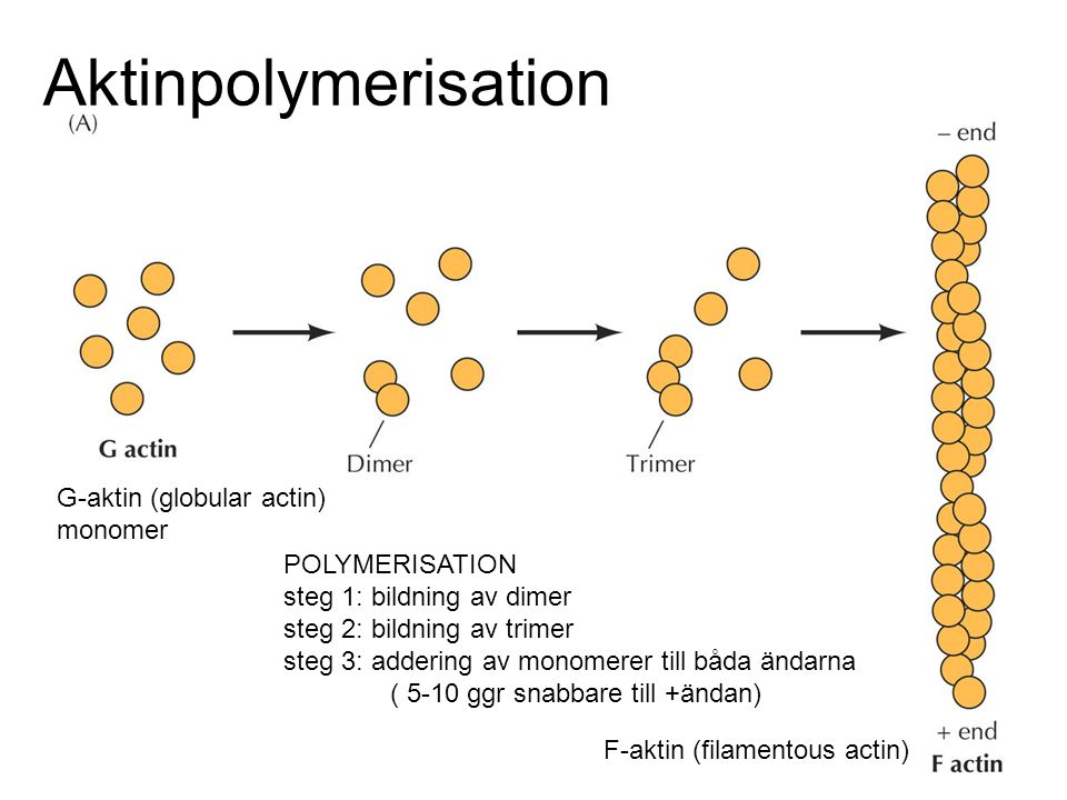 Aktinpolymerisation G-aktin (globular actin) monomer POLYMERISATION