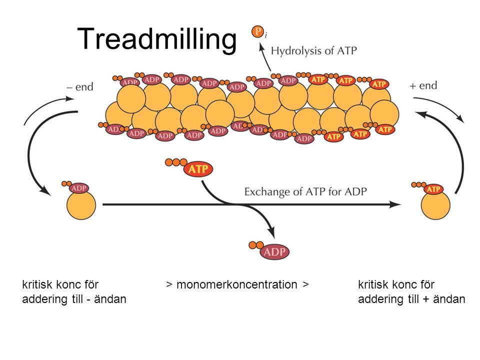 Treadmilling \Figures-Hi-res\ch11\cell3e11040.jpg. kritisk konc för > monomerkoncentration > kritisk konc för.