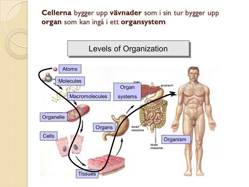Cellerna bygger upp vävnader som i sin tur bygger upp organ som kan ingå i ett organsystem