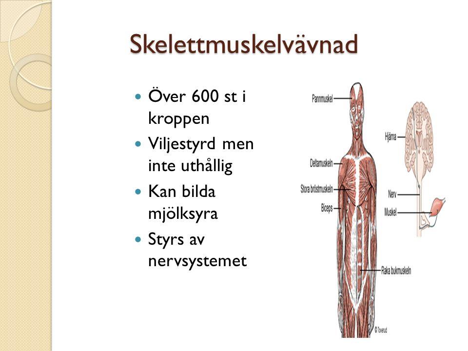 Skelettmuskelvävnad Över 600 st i kroppen Viljestyrd men inte uthållig
