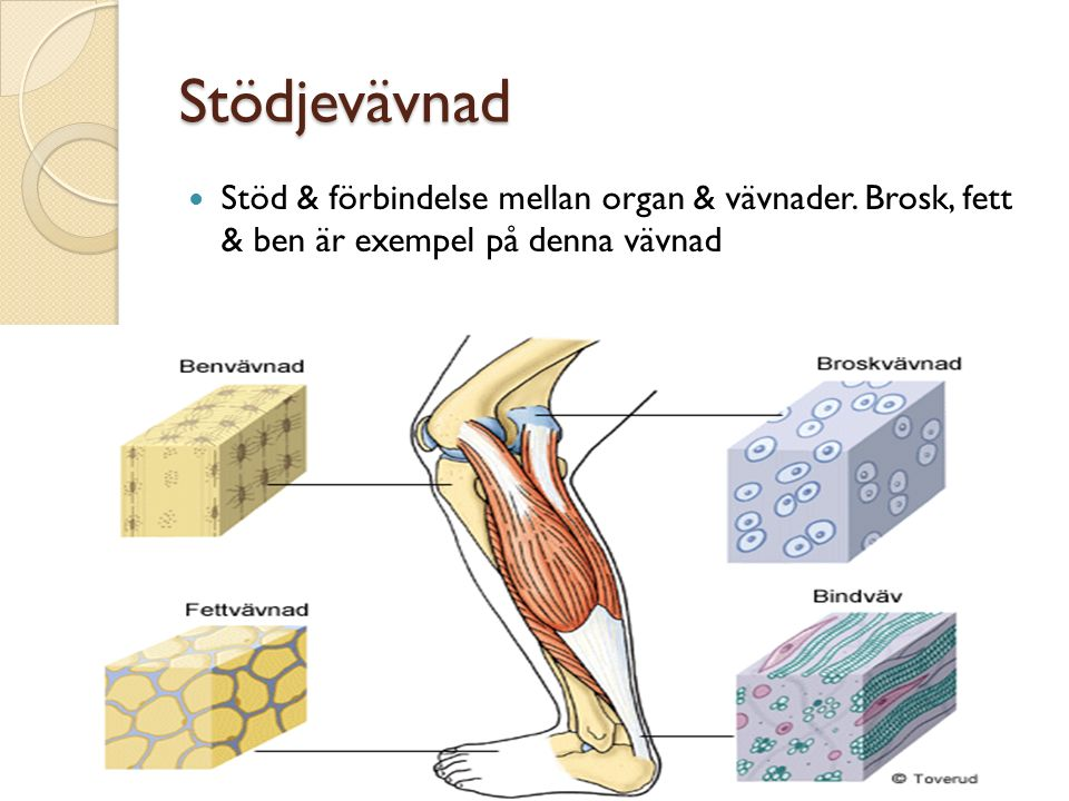 Stödjevävnad Stöd & förbindelse mellan organ & vävnader.