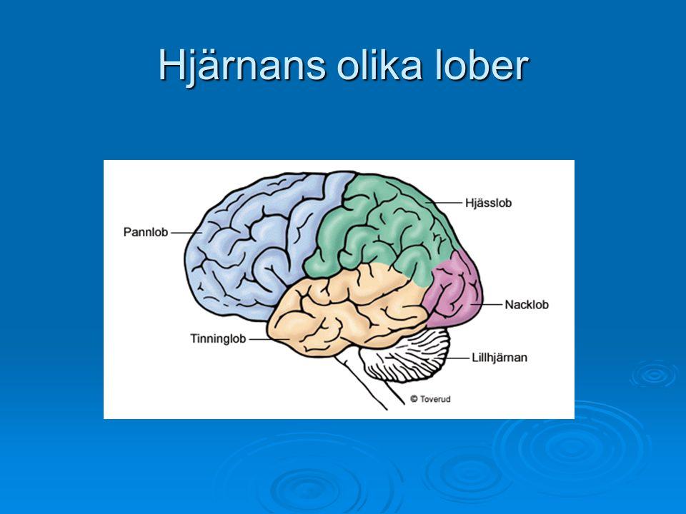 Hjärnans olika lober