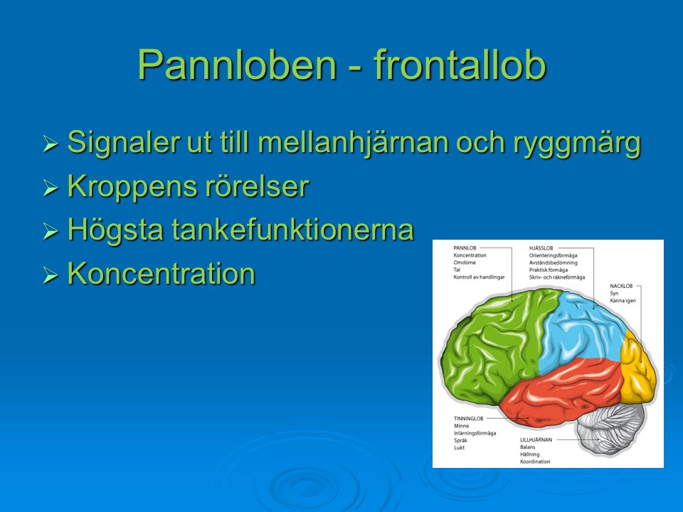 Pannloben - frontallob