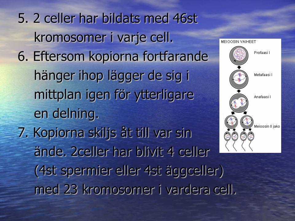 5. 2 celler har bildats med 46st kromosomer i varje cell. 6