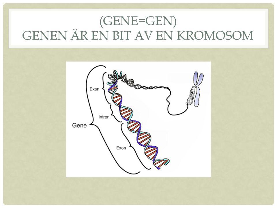 (Gene=GEN) Genen är en bit av en kromosom