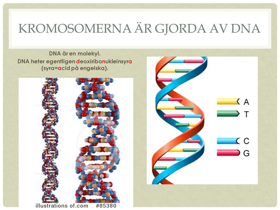 Kromosomerna är gjorda av dna