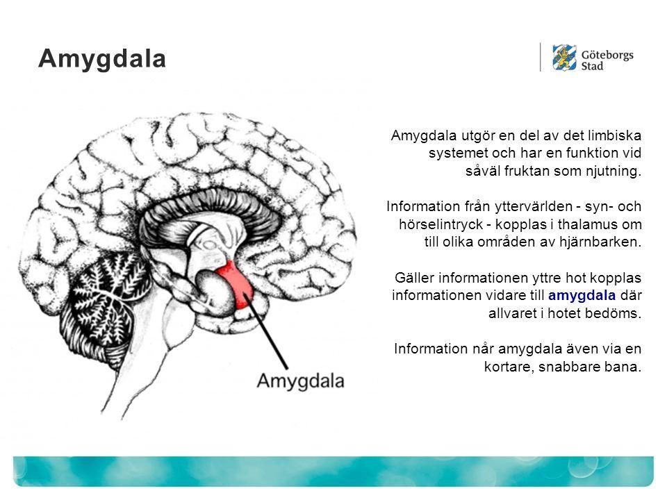 Amygdala Amygdala utgör en del av det limbiska