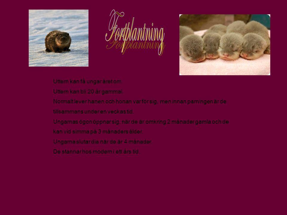 Fortplantning Uttern kan få ungar året om.