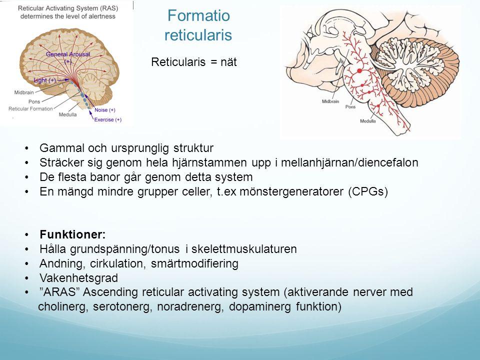 Formatio reticularis Reticularis = nät Gammal och ursprunglig struktur