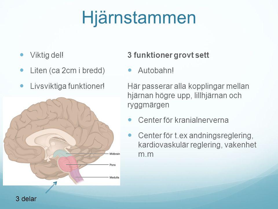 Hjärnstammen Viktig del! Liten (ca 2cm i bredd)