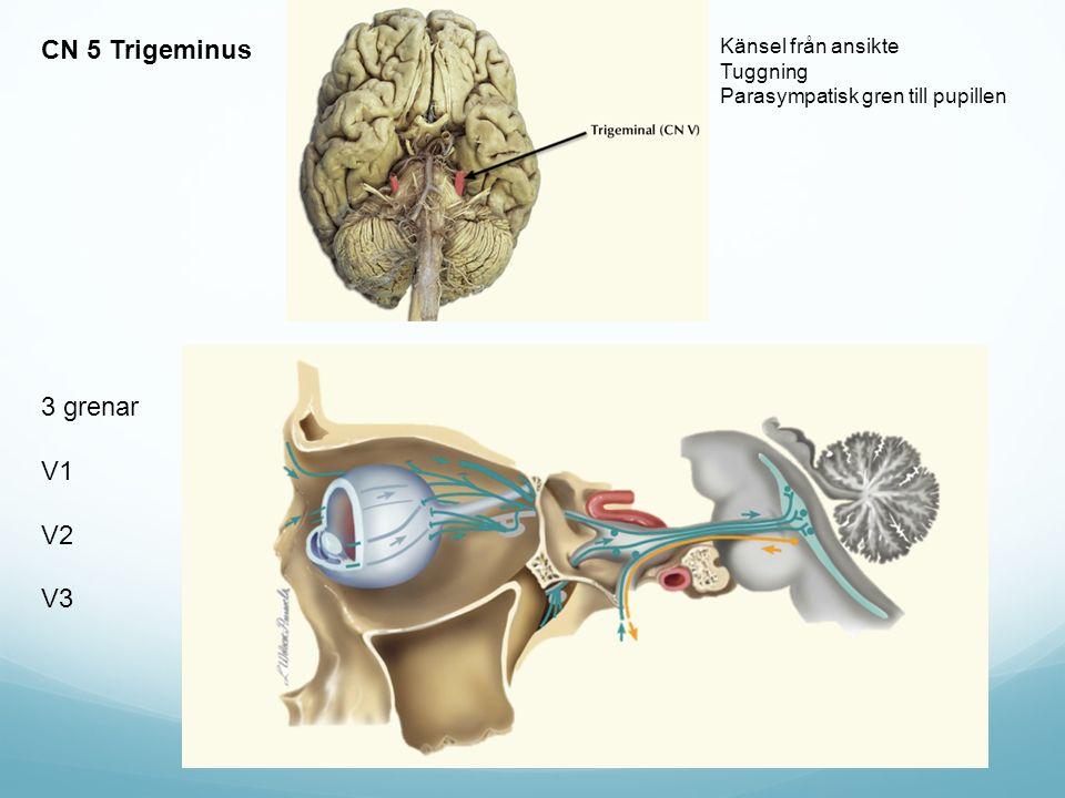 CN 5 Trigeminus 3 grenar V1 V2 V3 Känsel från ansikte Tuggning