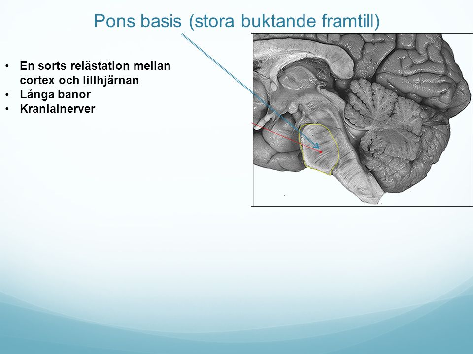 Pons basis (stora buktande framtill)
