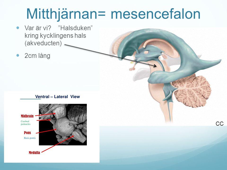 Mitthjärnan= mesencefalon