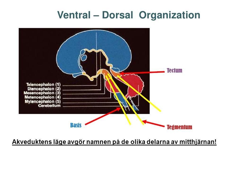 Akveduktens läge avgör namnen på de olika delarna av mitthjärnan!