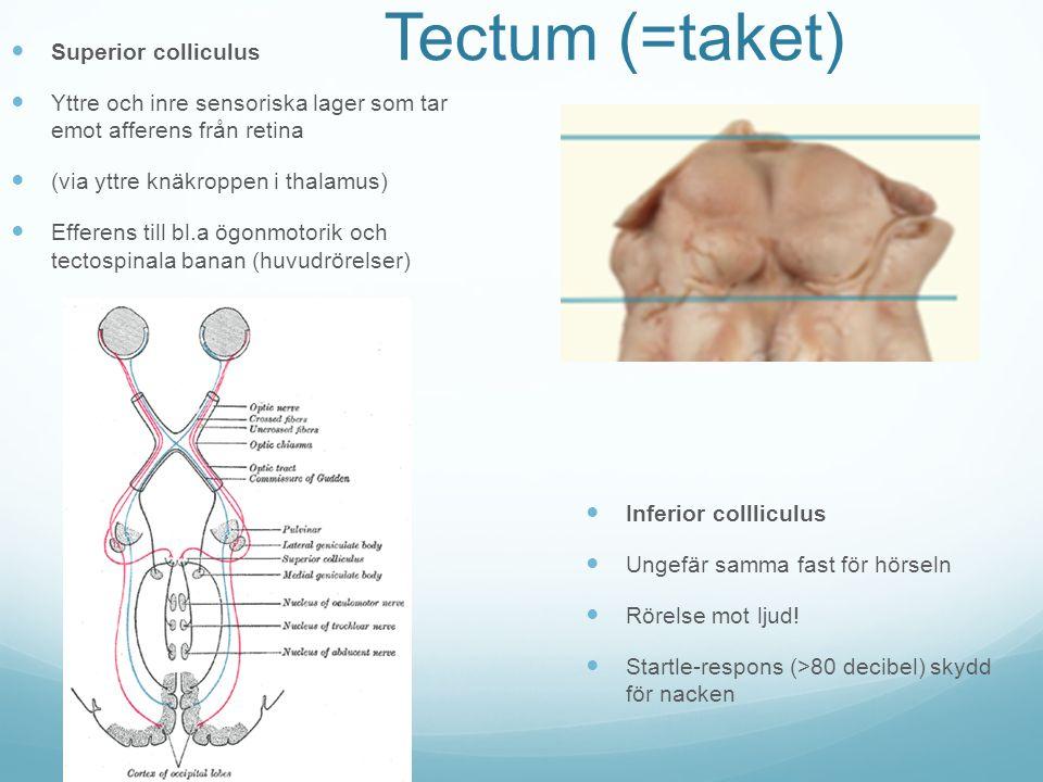 Tectum (=taket) Superior colliculus