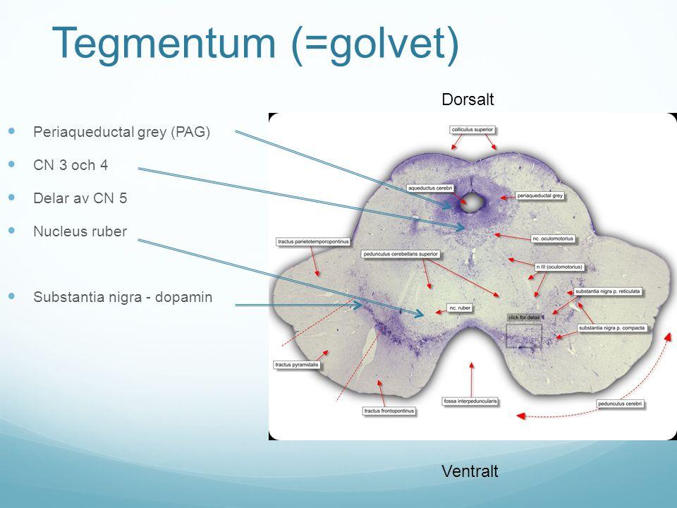Tegmentum (=golvet) Dorsalt Ventralt Periaqueductal grey (PAG)