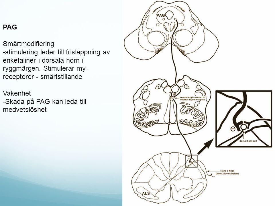 PAG Smärtmodifiering. -stimulering leder till frisläppning av enkefaliner i dorsala horn i ryggmärgen. Stimulerar my-receptorer - smärtstillande.