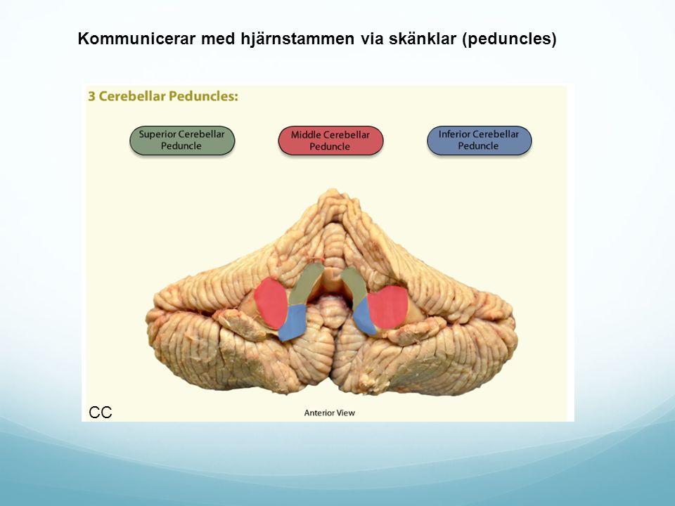 Kommunicerar med hjärnstammen via skänklar (peduncles)