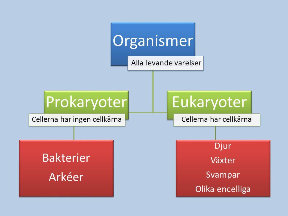 Organismer Prokaryoter Eukaryoter Bakterier Arkéer Djur Växter Svampar
