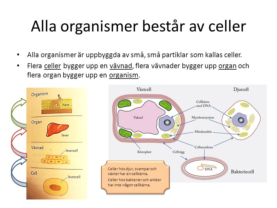 Alla organismer består av celler