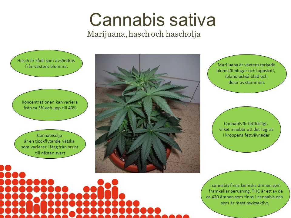 Cannabis sativa Marijuana, hasch och hascholja