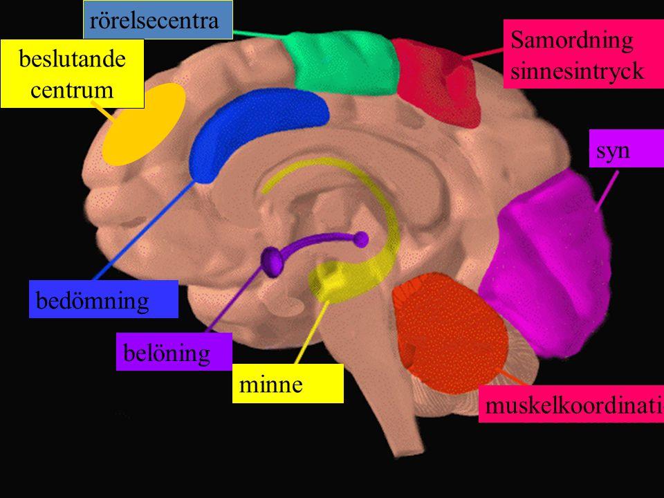 Samordning sinnesintryck beslutande centrum