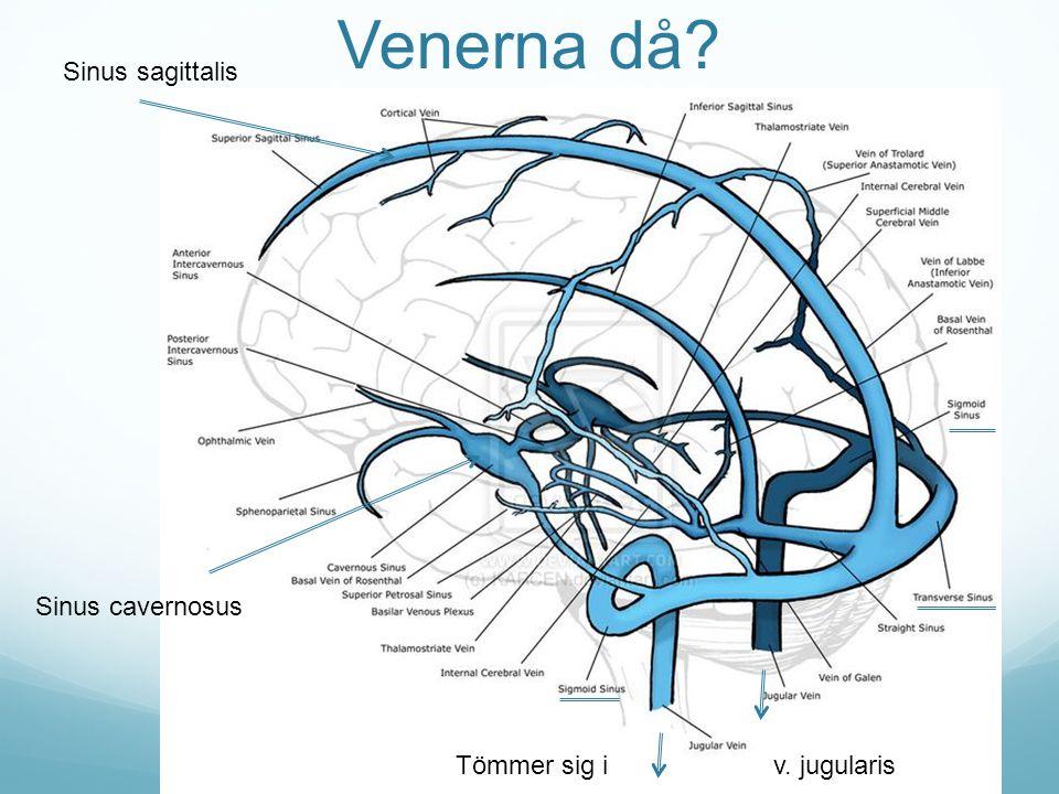 Venerna då Sinus sagittalis Sinus cavernosus
