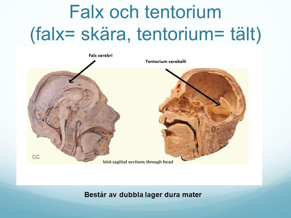 Falx och tentorium (falx= skära, tentorium= tält)