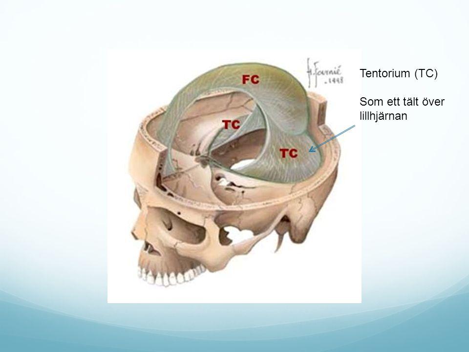 Tentorium (TC) Som ett tält över lillhjärnan