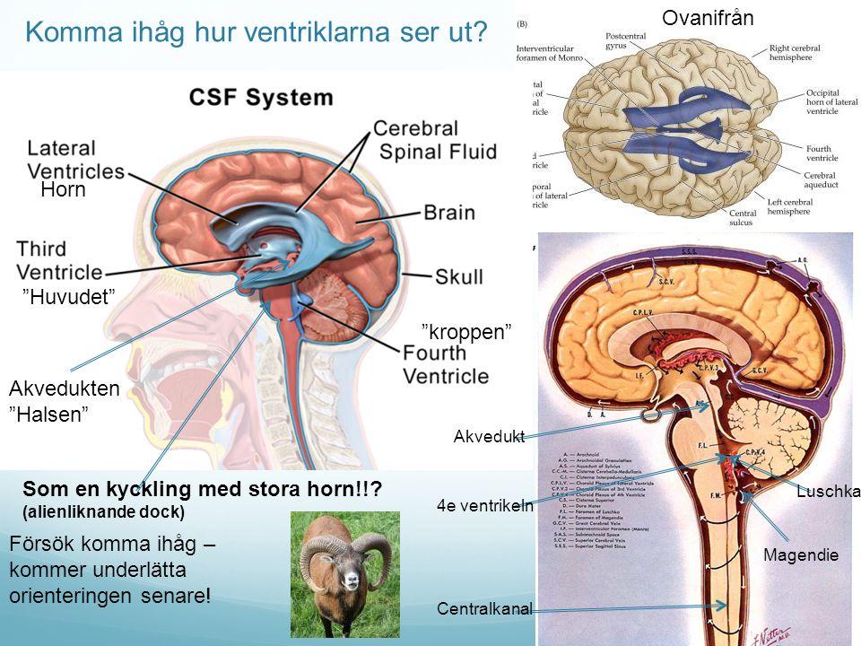 Komma ihåg hur ventriklarna ser ut