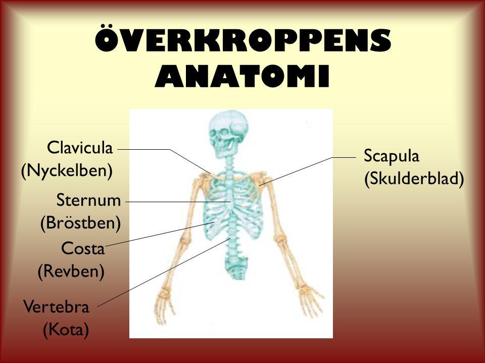 ÖVERKROPPENS ANATOMI Clavicula Scapula (Nyckelben) (Skulderblad)