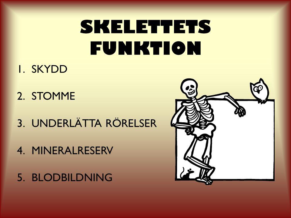 SKELETTETS FUNKTION SKYDD STOMME UNDERLÄTTA RÖRELSER MINERALRESERV