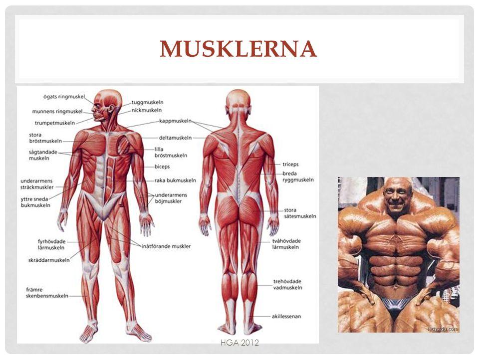 Musklerna HGA 2012