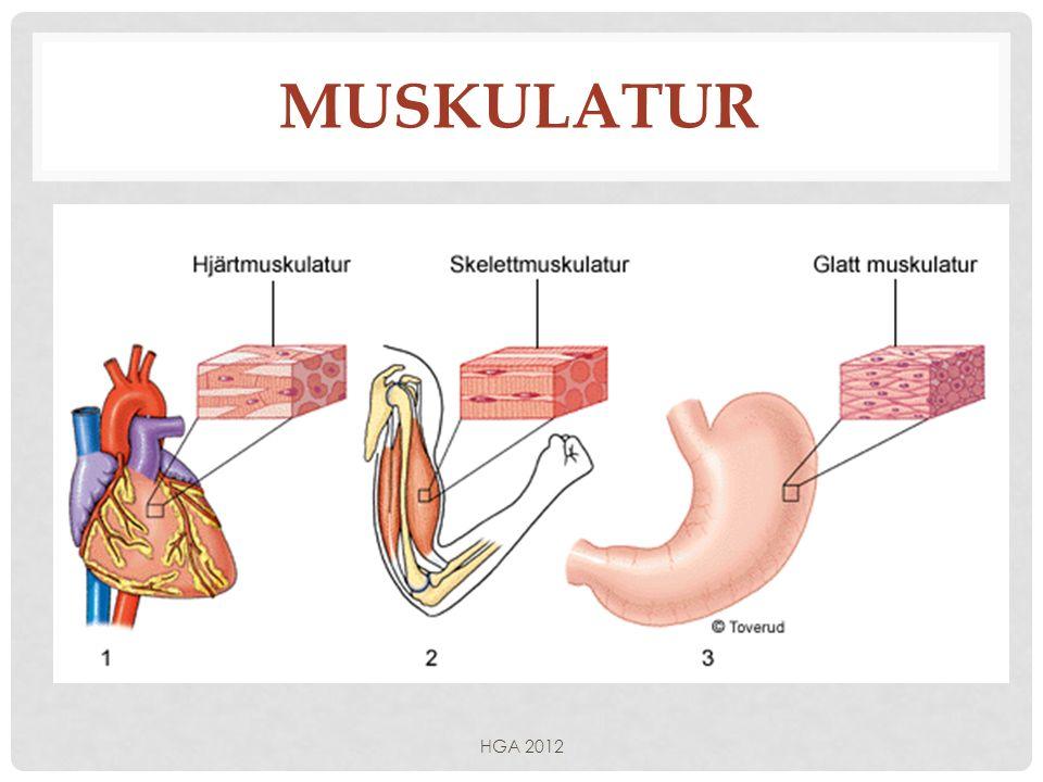 Muskulatur HGA 2012
